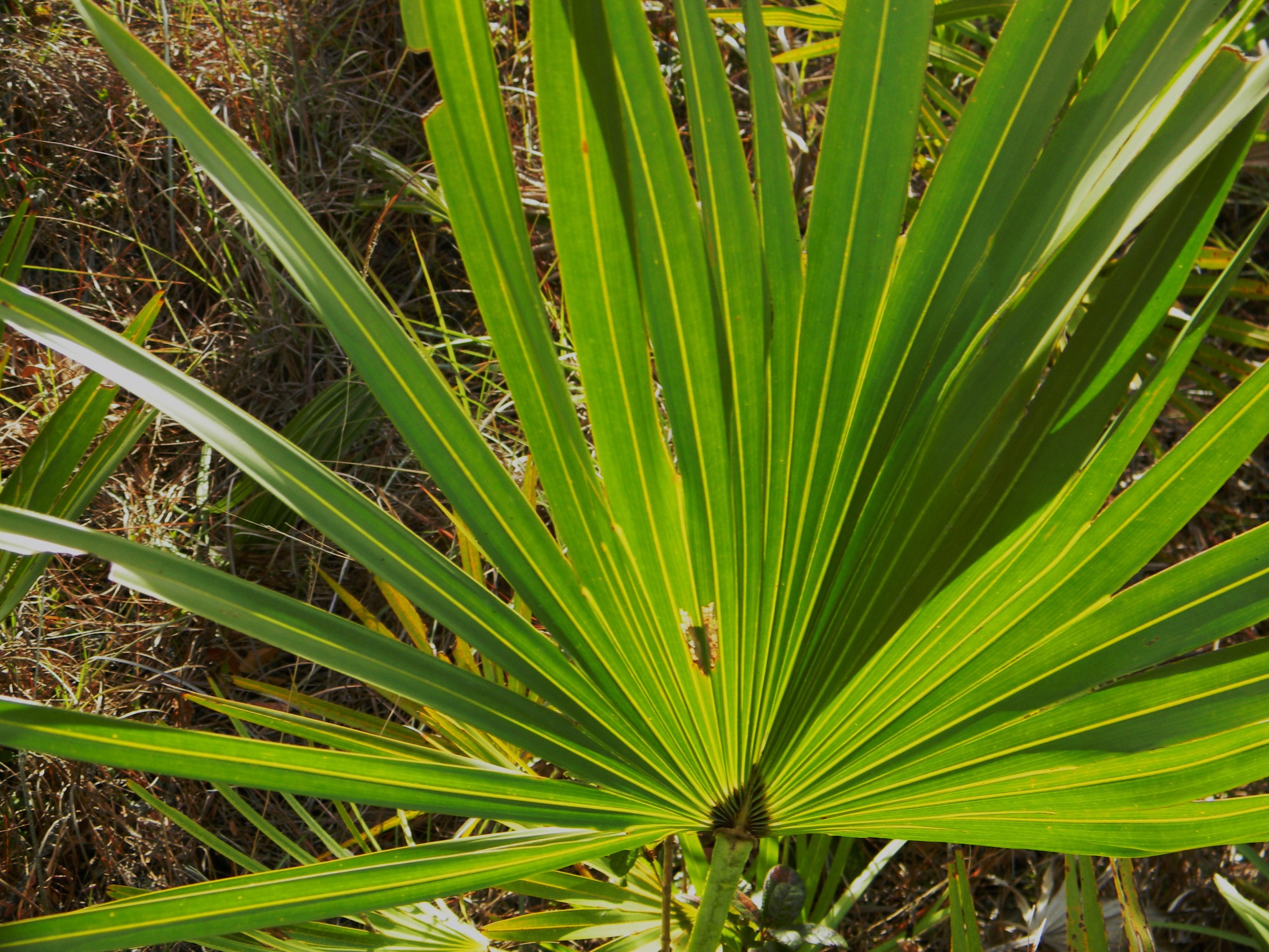 saw palmetto south florida trees