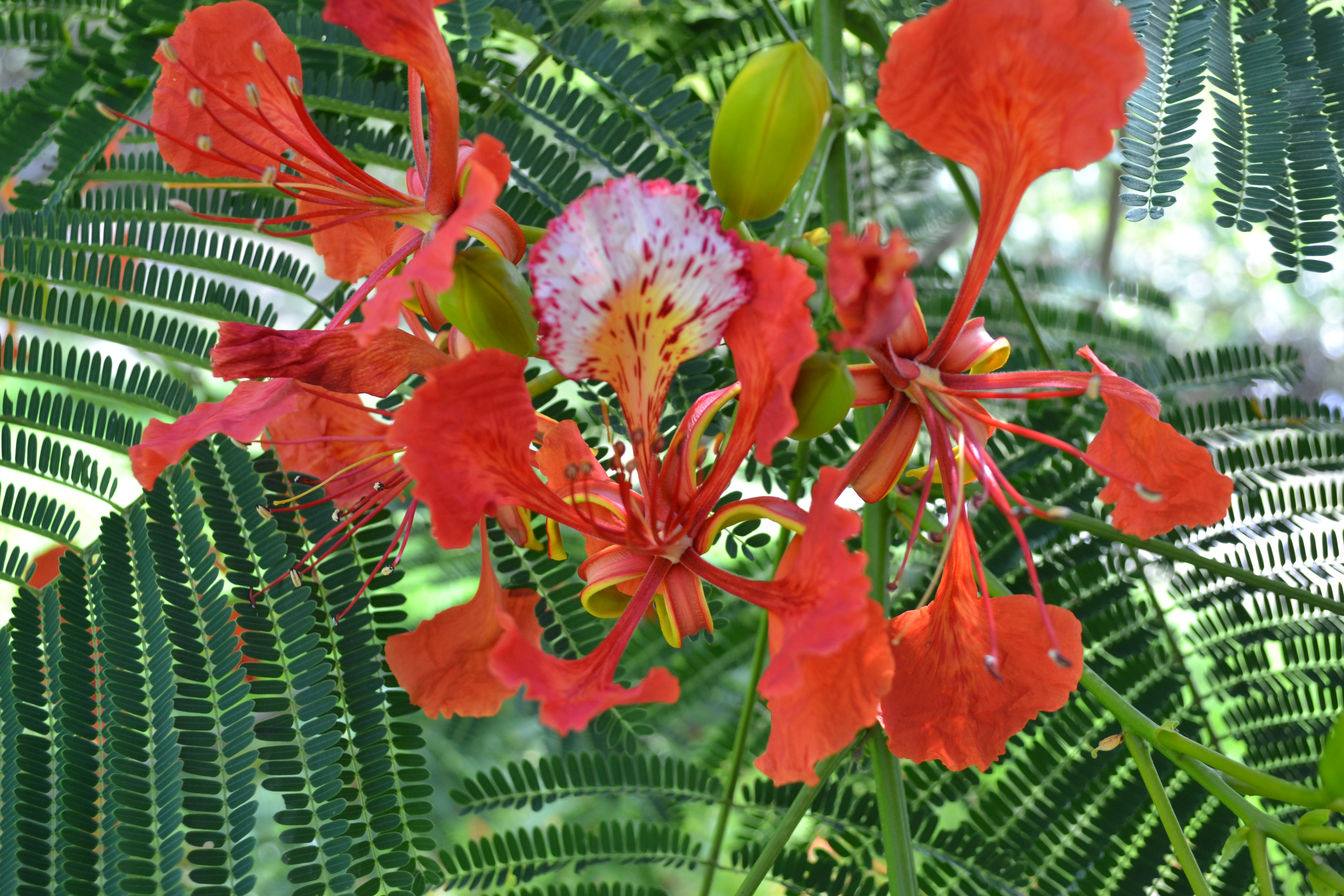 Royal Poinciana South Florida Trees